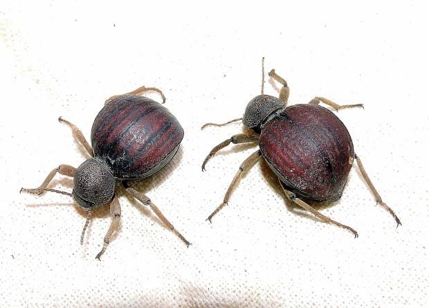 psammodes-striatus-striped-toktokkie-copy