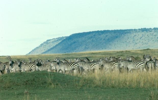 13-zebra-copy-2