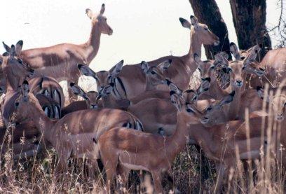 impala-sep-86-cropped