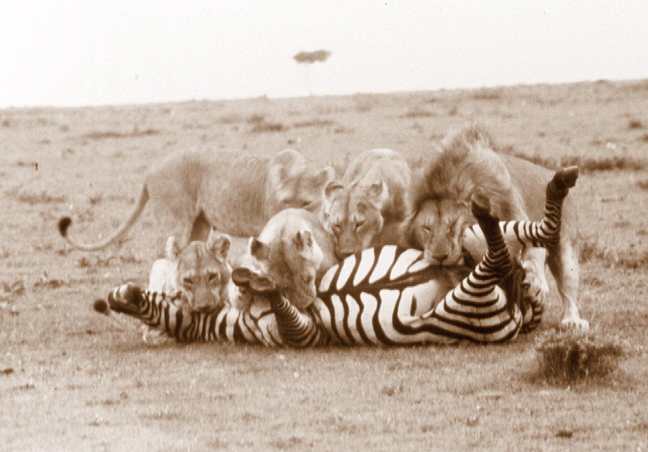 lions-killing-zebra-m-mara-2-sepia