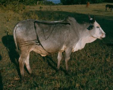 maasai-cow-kilai-6-41-13-pm