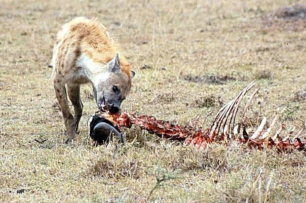 mmara-hyena-2