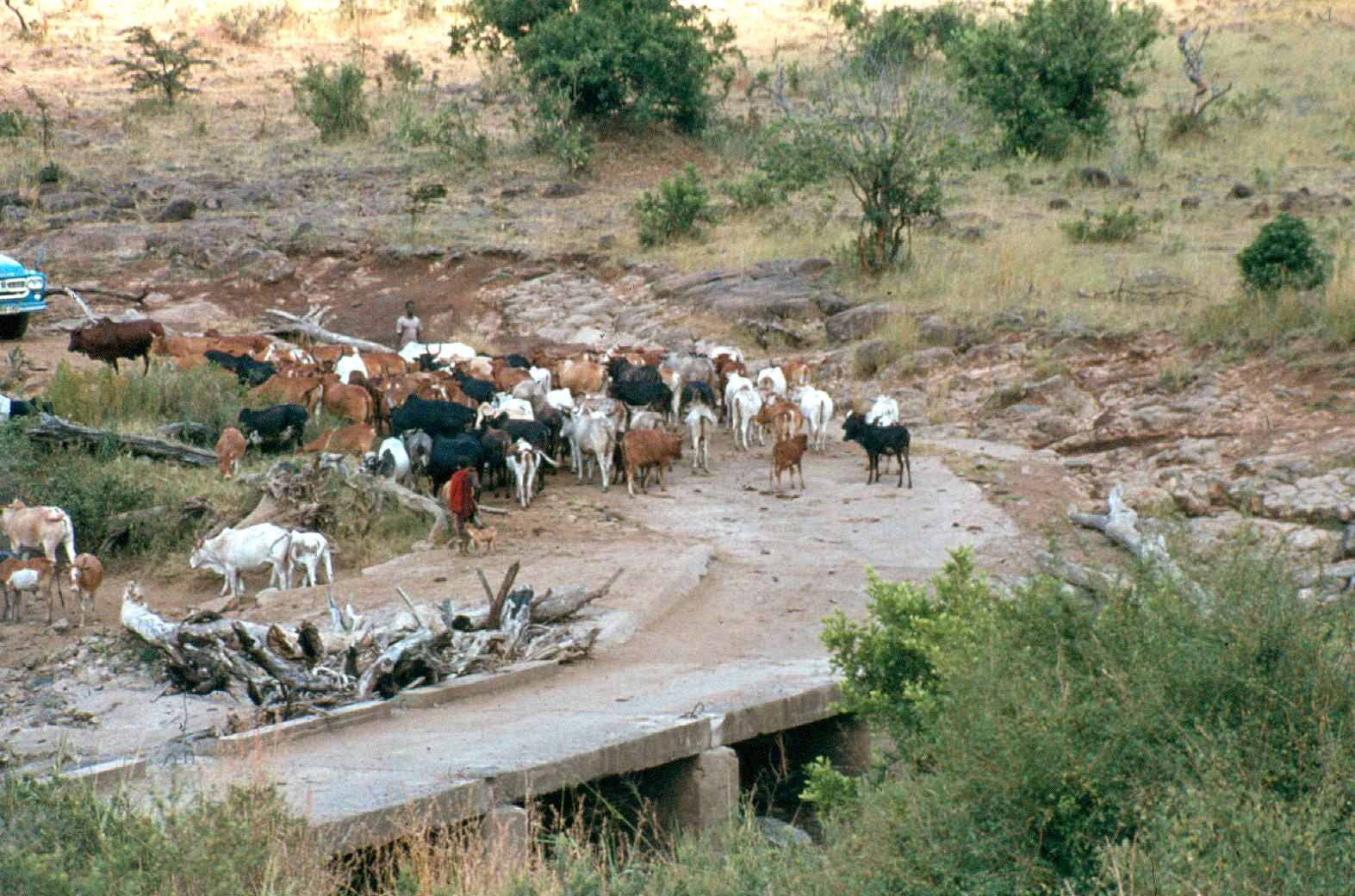 maasai-cattle-mara-bridge-2