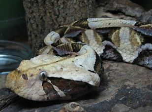 Close up of a Gaboon viper. Picture by No machine-readable author provided. Ltshears assumed (based on copyright claims). [Public domain], via Wikimedia Commons.