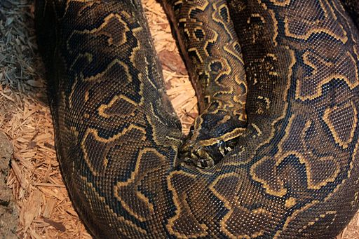 Gfp-african-rock-python