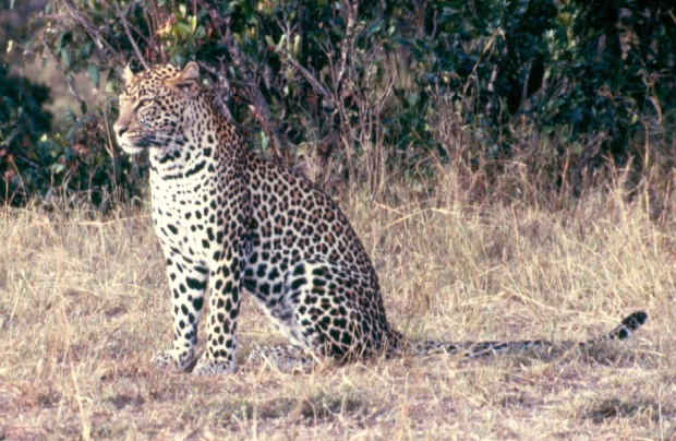 Leopard M mara sitting cropped copy