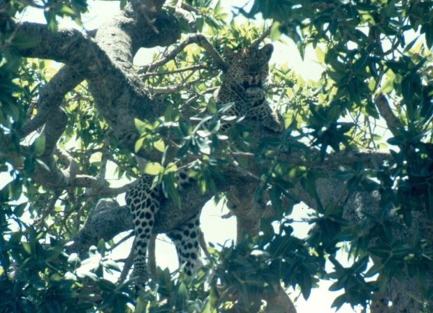 Leopard M mara tree copy