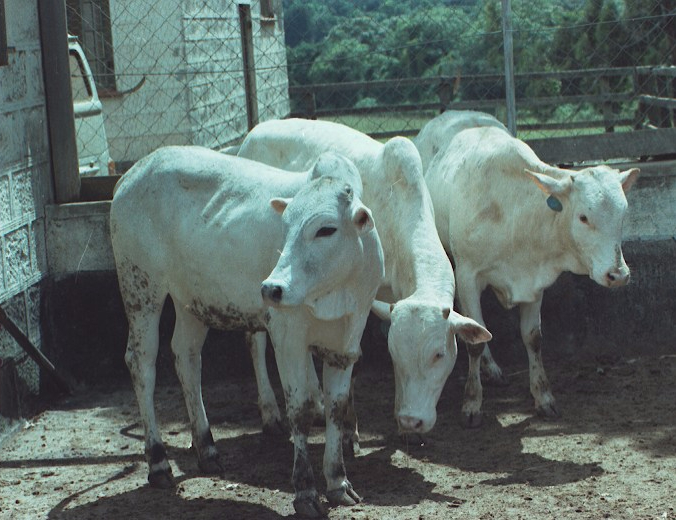 Experimental cattle Isolation unit copy
