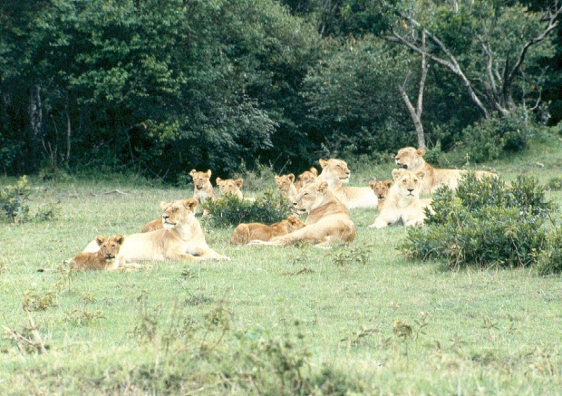 Lion pride M Mara 6.54.19 AM copy