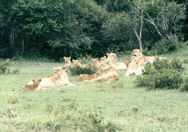 Lion pride M Mara 6.54.19 AM copy
