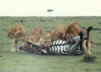 Lions killing zebra m mara 3 7.47.00 AM.tif copy