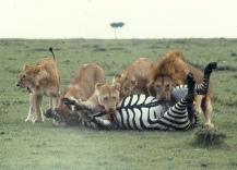 Lions killing zebra m mara 3 7.47.00 AM.tif copy