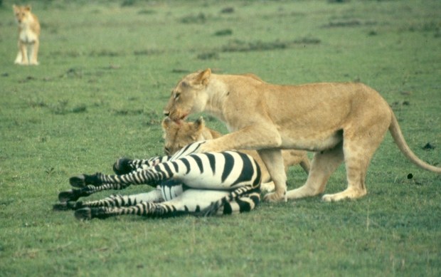 Lions killing zebra m mara 7 copy