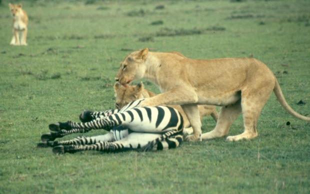 Lions killing zebra m mara 7 copy
