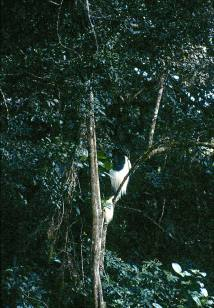 A bad picture of a colobus monkey, one of the special primates of the Aberdares.