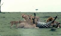 mmara lioness killing zebra 1 copy