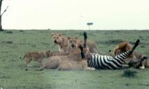 mmara lioness killing zebra 1 copy