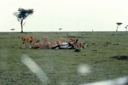 mmara lioness killing zebra 4 copy