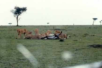 mmara lioness killing zebra 4 copy