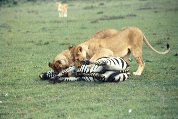 mmara lioness killing zebra 7 copy