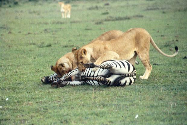 mmara lioness killing zebra 7 copy