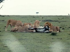 mmara lioness killing zebra best 2 copy
