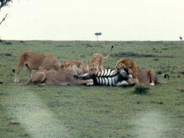 mmara lioness killing zebra best 2 copy