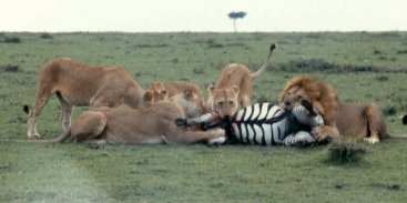mmara lioness killing zebra best 2 cropped copy