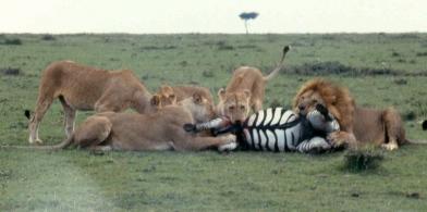 mmara lioness killing zebra best 2 cropped copy