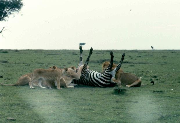 mmara lioness killing zebra best 3 copy