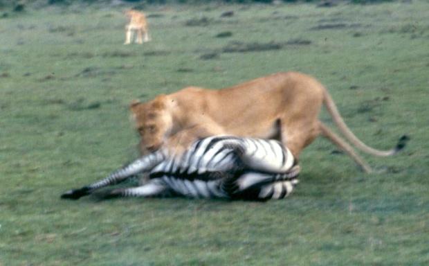 mmara lioness killing zebra copy