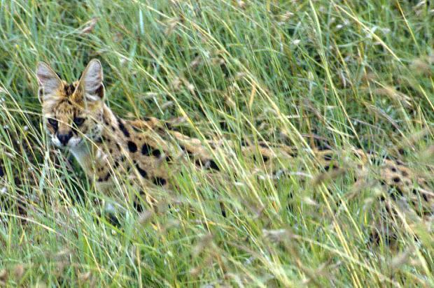 nnp serval-001