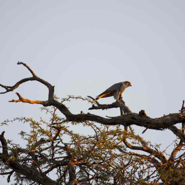 Red-necked falcon with sparrow prey.