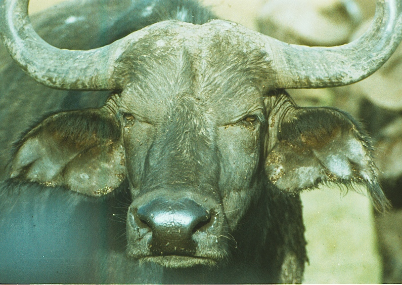 Buffalo with ticks copy