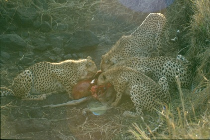 Cheetah kill group NNP copy