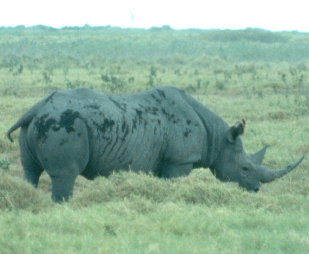 Rhino Amboseli dusty copy
