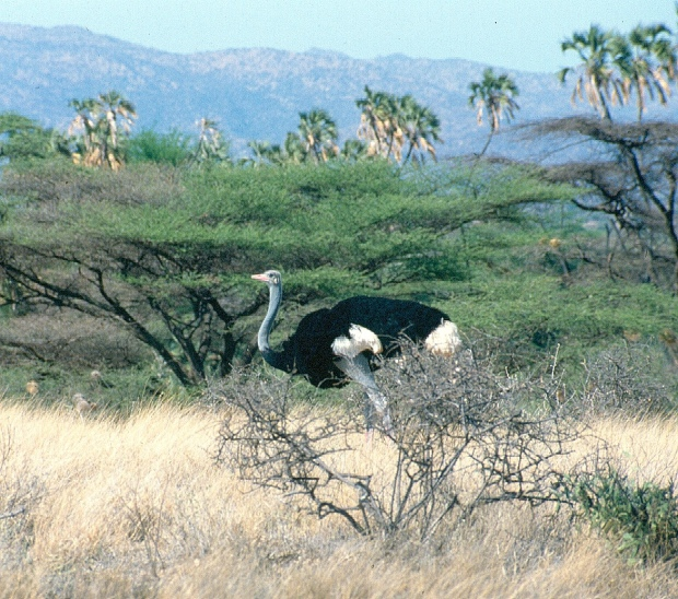 Somali male ostrich Samb np copy