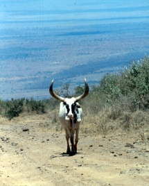 cattle magadi... back road ngong copy