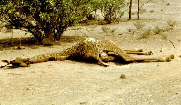 dead giraffe magadi round the lake rd