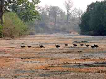 A flock of Helmeted guinea fowls runs across the dry river bed.