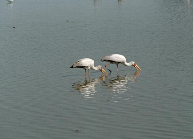 magadi yellow billed storks fishing darkened