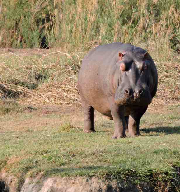 A serious looking hippo found during our walk.
