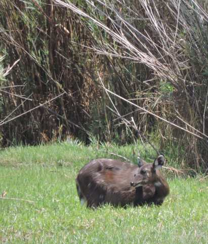 A female sitatunga grazing in the Pontoon swamp.