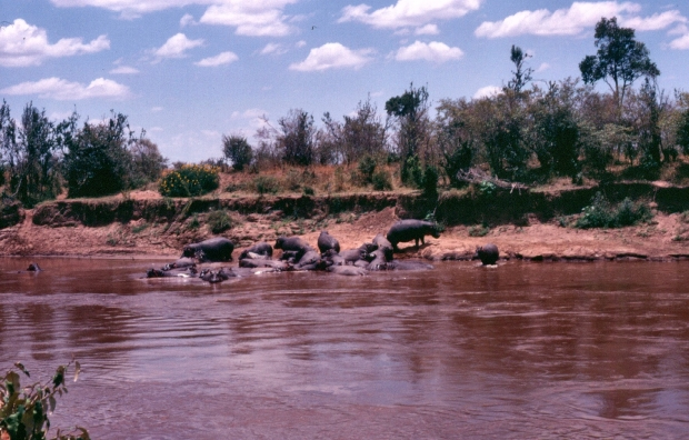 Hippos Mara river copy.jpg
