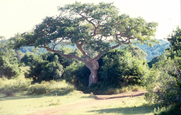 intona fig tree marking entrance to ranch cropped.jpg