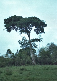 Another nice tree near the Migori river.