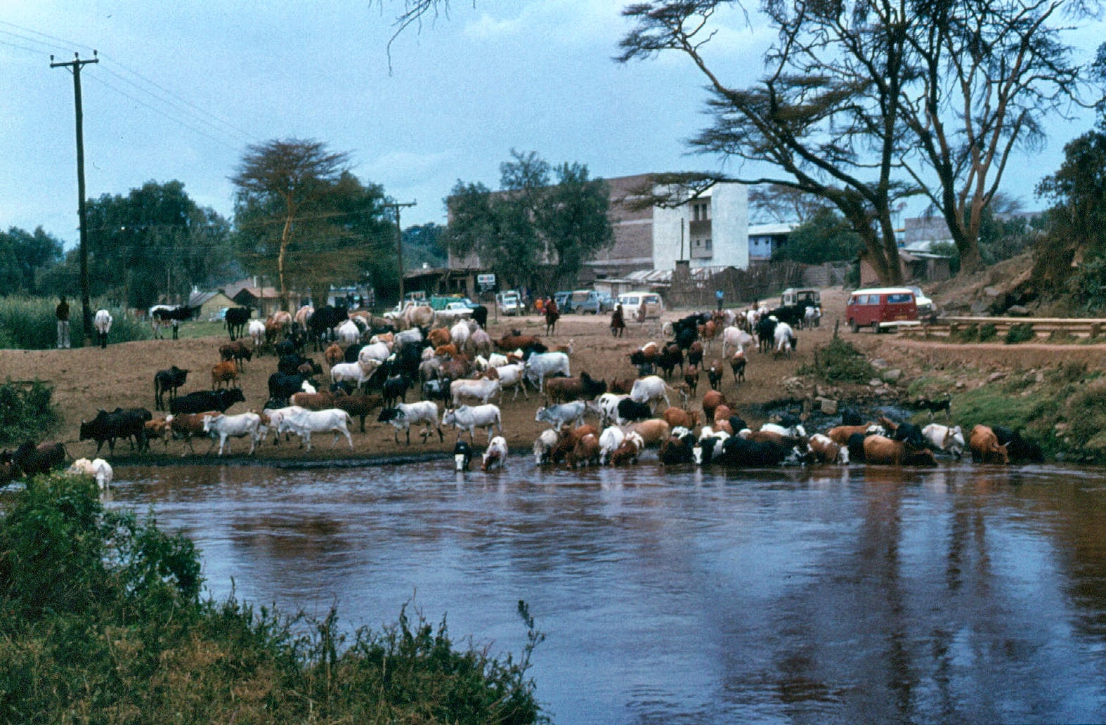narok town and maasai cattle copy
