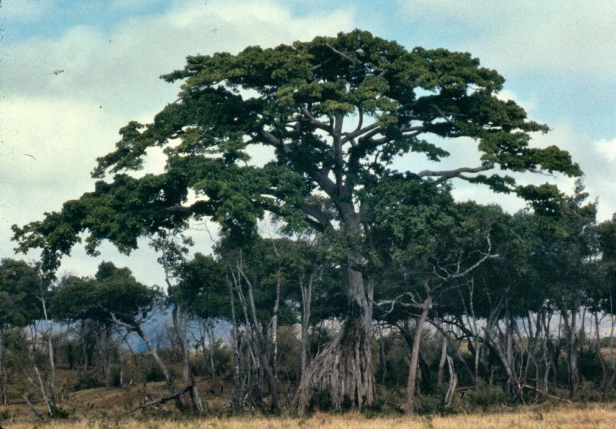 A large tree near the Migori river.