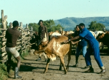 Handling cattle copy