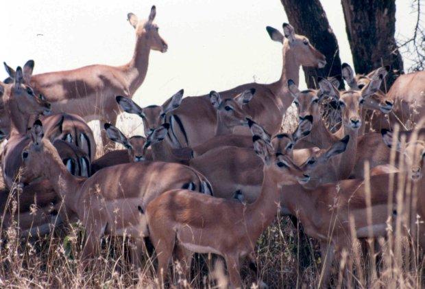 impala sep 86 cropped